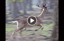 ویدیو موترسایکل گوزن 226x145 - ویدیو/ برخورد موترسایکل با گوزن