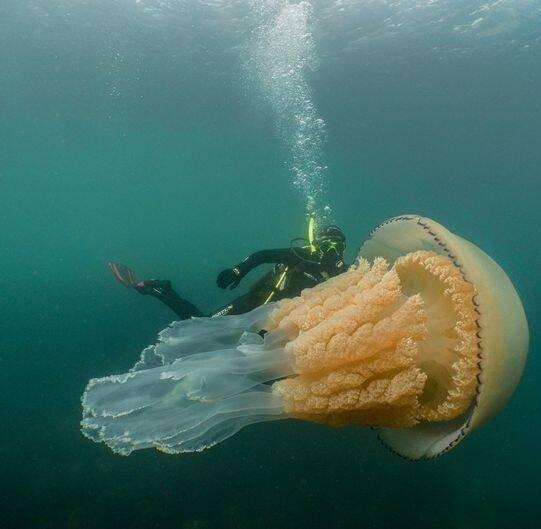 عروس دریایی1 - تصویر/ بزرگ ترین عروس دریایی دنیا
