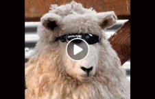 ویدیو انتقام گوسفند انسان 226x145 - ویدیو/ انتقام گوسفندان از انسان ها
