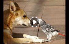 ویدیو تقلید صدا طوطی سگ نگهبان 226x145 - ویدیو/ تقلید صدای طوطی از سگ های نگهبان