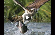 ویدیو شکار ماهی بزرگ عقاب 226x145 - ویدیو/ شکار ماهی بزرگ توسط عقاب