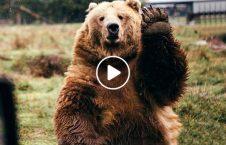 ویدیو ورود خرس منزل امریکا 226x145 - ویدیو/ لحظه ورود خرس به یک منزل مسکونی در امریکا