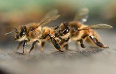 زنبور 226x145 - حمله زنبورها به طیاره هندی!