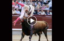 ویدیو حمله گاو وحشی تماشاچیان 226x145 - ویدیو/ حمله مرگبار گاو وحشی به تماشاچیان