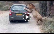 ویدیو بازی مرگ توریست مقابل شیر 226x145 - ویدیو/ بازی با مرگ یک توریست در مقابل شیر