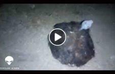 ویدیو حیوان عجیب الخلقه روسیه 226x145 - ویدیو/ کشف یک حیوان عجیب الخلقه در روسیه