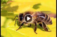 ویدیو خانه سقف عسل بیرون 226x145 - ویدیو/ خانه ای که از سقف آن عسل بیرون می آید