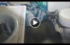 ویدیو صحنه وحشتناک امریکا تشناب خانه 226x145 - ویدیو/ صحنه وحشتناکی که یک امریکایی در تشناب خانه خود دید