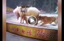 حمله ببر 226x145 - ویدیو/ لحظه حمله ببر به اسب در سیرک