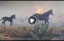 ویدیو اتفاق آتش امریکا 226x145 - ویدیو/ وقوع یک اتفاق زیبا در آتش سوزی های امریکا