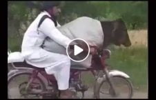 ویدیو قاچاق گاو موترسایکل پاکستانی 226x145 - ویدیو/ قاچاق گاو با موترسایکل توسط این مرد پاکستانی