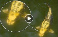 ویدیو ماهی وحشتناک چهره انسان 226x145 - ویدیو/ ماهی وحشتناکی که چهره یک انسان را دارد