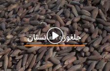 ویدیو پاکستان جلغوزه افغانستان 226x145 - ویدیو/ در آمد صدها ملیون دالری پاکستان از صادرات جلغوزه افغانستان