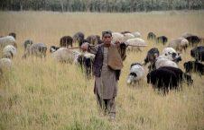 چوپان 226x145 - چوپانی باشنده گان افغان برای ترک ها