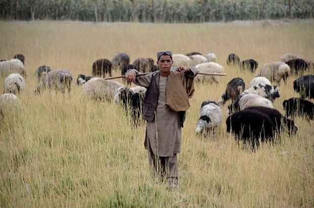 چوپان - چوپانی باشنده گان افغان برای ترک ها