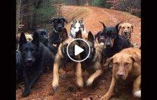 ویدیو حمله 8 سگ جوان روسی 226x145 - ویدیو/ لحظه وحشتناک حمله 8 سگ به یک جوان روسی