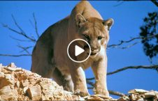 ویدیو فرار گوزن چنگال شیر وحشی 226x145 - ویدیو/ لحظه فرار گوزن از چنگال شیر وحشی