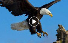 ویدیو لحظه شکار مرغ دریا عقاب 226x145 - ویدیو/ لحظه شکار مرغ دریایی توسط عقاب