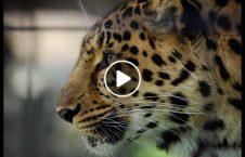 ویدیو پلنگ طعمه رحم 226x145 - ویدیو/ پلنگی که به طعمه اش رحم کرد