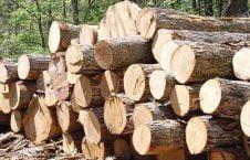 درخت 226x145 - انتقاد فعالان مدنی بادغیس از قطع خودسرانۀ صدها درخت توسط اردوی ملی