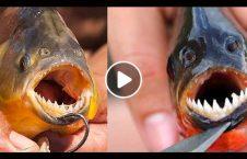 ویدیو حیرت انگیز ماهی گوشتخوار 226x145 - ویدیو/ تصاویری حیرت انگیز از ماهی های گوشتخوار