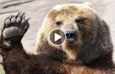 ویدیو مبارزه ورزشکار روسی خرس 226x145 - ویدیو/ مبارزه ورزشکار روسی با یک خرس