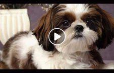 ویدیو حرکات سگ مراقبت اطفال 226x145 - ویدیو/ حرکات باورنکردنی یک سگ برای مراقبت از اطفال