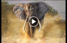 ویدیو حمله فیل خشمگین لاری 226x145 - ویدیو/ لحظه حمله فیل خشمگین به لاری