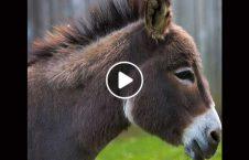 ویدیو زجر خر دریور لاری 226x145 - ویدیو/ زجر دادن وحشیانه حیوانات توسط دریور لاری