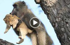 ویدیو عجیب بوزینه دزدیدن بچه شیر 226x145 - ویدیو/ اقدام عجیب بوزینه پس از دزدیدن یک بچه شیر