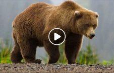 ویدیو باورنکردنی خرس باغ وحش 226x145 - ویدیو/ اقدام باورنکردنی یک خرس در باغ وحش