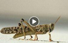 ویدیو حمله ملخ غول پیکر عراق 226x145 - ویدیو/ حمله ملخ های غول پیکر به عراق