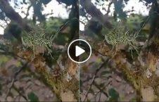 ویدیو حیوان عجیب الخلقه جنگل هند 226x145 - ویدیو/ کشف یک حیوان عجیب الخلقه در جنگل های هند