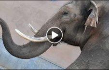 ویدیو لحظه سیلی فیل زن جوان 226x145 - ویدیو/ لحظه سیلی زدن فیل به یک زن جوان