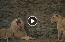 ویدیو شیر باغ وحش کابل 226x145 - ویدیو/ شیر های باغ وحش کابل