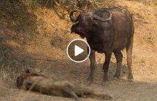 ویدیو مرگ دلخراش شیر گاومیش 226x145 - ویدیو/ مرگ دلخراش شیر توسط یک گاومیش