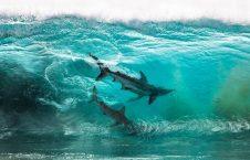 دنیای آبزیان9 226x145 - تصاویری شگفت انگیز از دنیای زیر آب