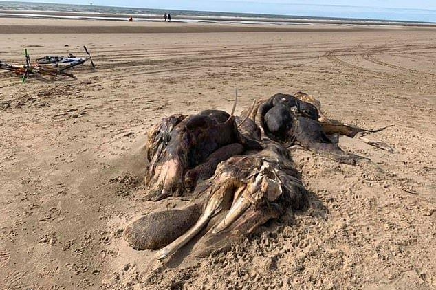 عجیب الخلقه بریتانیا 1 - کشف یک موجود عجیب الخلقه در سواحل بریتانیا + تصاویر