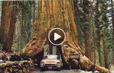 ویدیو بلندترین موجود زنده دنیا حرکت 226x145 - ویدیو/ بلندترین موجود زنده در دنیا که قادر به حرکت نمی باشد