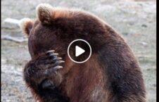 ویدیو تلاش زوج کمک خرس گرفتار 226x145 - ویدیو/ تلاش یک زوج برای کمک به خرس گرفتار