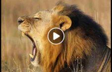 ویدیو حمله شیر خشمگین مربی باغ وحش 226x145 - ویدیو/ حمله شیر خشمگین بالای مربی اش در باغ وحش