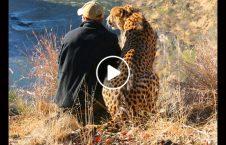 ویدیو رفاقت مرد شجاع شیر پلنگ 226x145 - ویدیو/ رفاقت عجیب یک مرد شجاع با شیر و پلنگ
