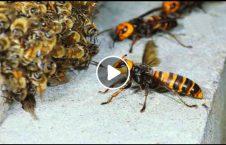 ویدیو صحنه عجیب زنبور دشمن مهاجم 226x145 - ویدیو/ صحنه ای عجیب از لحظه حمله دسته جمعی زنبور ها به دشمن مهاجم