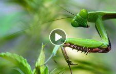 ویدیو موجود عجیب شکار رنگ تغییر 226x145 - ویدیو/ موجودی عجیب که بعد از شکار رنگش تغییر می کند!