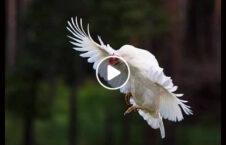 ویدیو پرواز مرغ 226x145 - ویدیو/ لحظه پرواز باورنکردنی یک مرغ