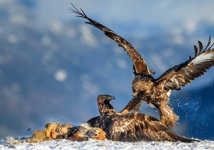 تصویری دیدنی از درگیری عقاب ها