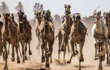 مسابقات شتردوانی 9 226x145 - تصاویر/ برگزاری مسابقات شتردوانی در مصر