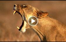 ویدیو حمله وحشتناک شیر مرد خانه 226x145 - ویدیو/ حمله وحشتناک شیر به یک مرد در خانه اش