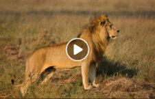 ویدیو خطرناک جوان نزدیکی شیر 226x145 - ویدیو/ اقدام خطرناک مرد جوان در نزدیکی یک شیر