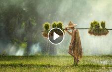 ویدیو روش مبارزه آفت شالیزار برنج 226x145 - ویدیو/ روشی جالب برای مبارزه با آفت در شالیزارهای برنج